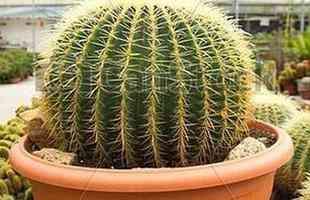 Algumas espécies de plantas são muito resistentes e de cuidados simples, consideradas anuais, perenes e sustentáveis. Na foto, cacto bola