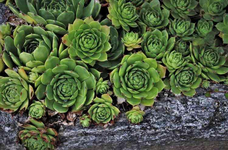 Rosa de pedra - Pixabay