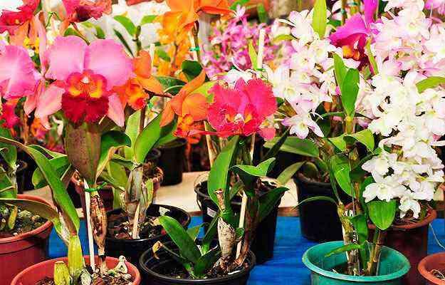 Variedades disponíveis para venda no mercado facilita uso da planta na decoração doméstica e comercial - Eduardo Almeida/RA Studio