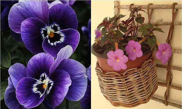 Violetas - Reprodução/Internet