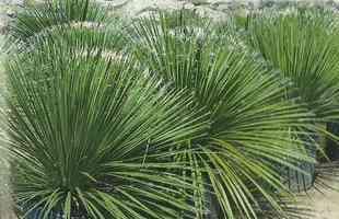 Algumas espécies de plantas são muito resistentes e de cuidados simples, consideradas anuais, perenes e sustentáveis. Na foto, dasylirions
