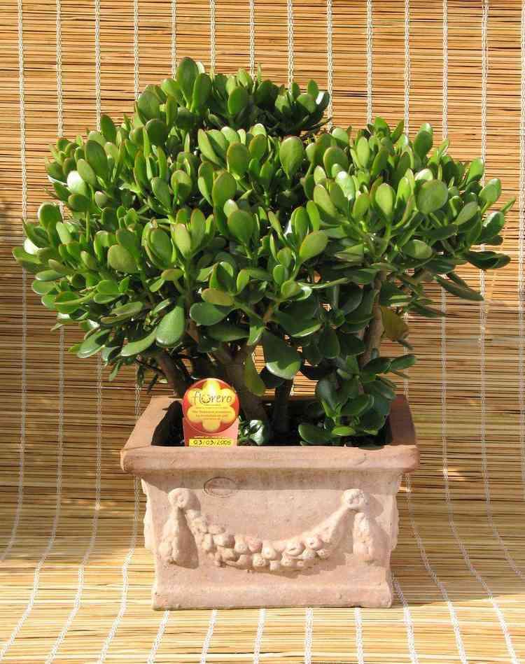 Planta jade - Pixels