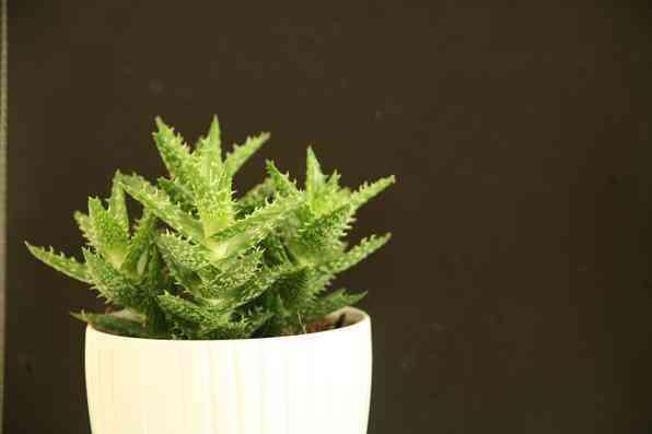 Algumas espécies de plantas são muito resistentes e de cuidados simples, consideradas anuais, perenes e sustentáveis. Na foto, babosa