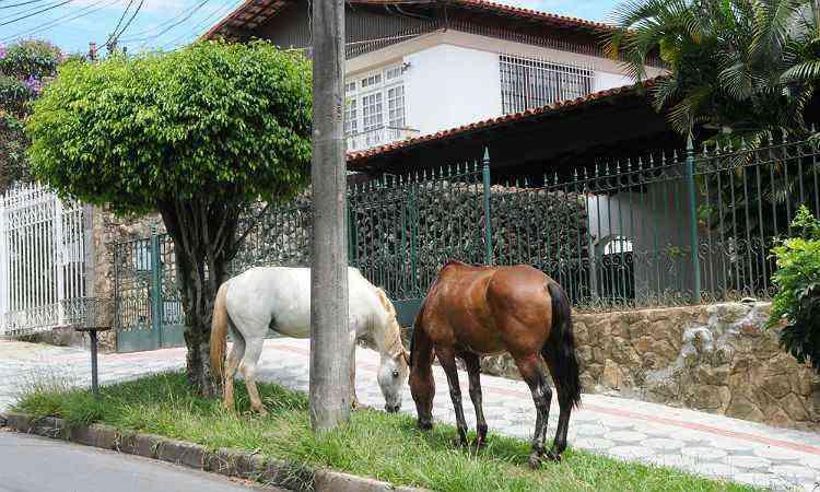 Animais dão ares de fazenda na Rua José Osvaldo Araújo - PAULO FILGUEIRAS/EM/D.A PRESS-17/1/14